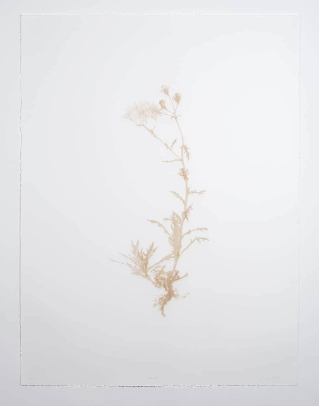 Ragwort (2018) Laser engraved print on somerset paper, 75 x 55 cm, Edition of 25. Showing full image to torn edges